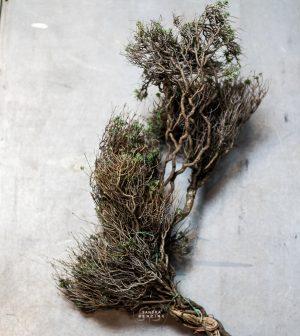 Bild zeigt Euphorbia
