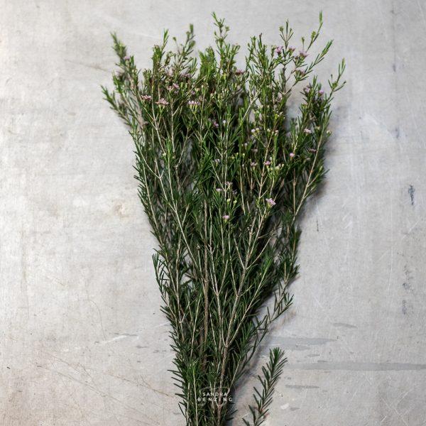 Bild zeigt Waxflower