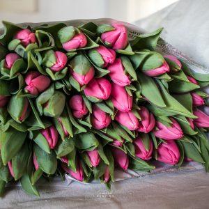 Bild zeigt Tulpe rosa