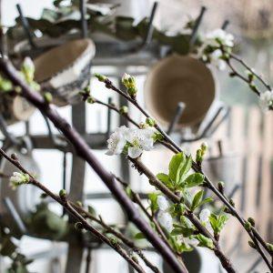 Bild zeigt Kirschblüten